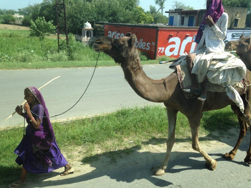 gypsy camels