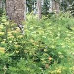 Forest flowers Cedar Breaks