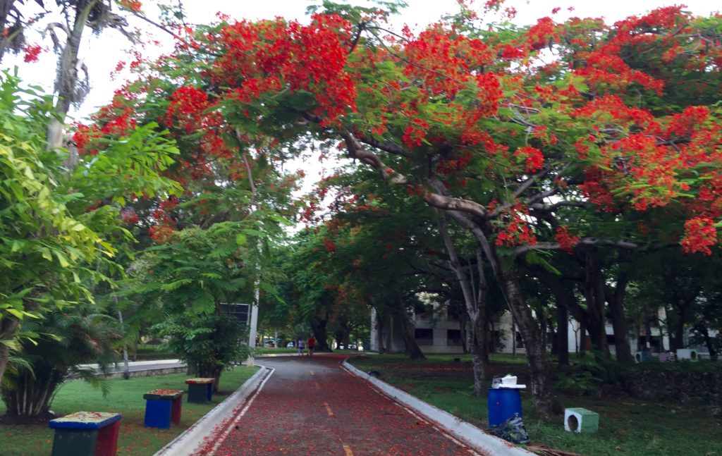 Morning walks in the park across the street with flamboyant trees and petals on the path