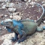 Rhinoceros Iguana in blue