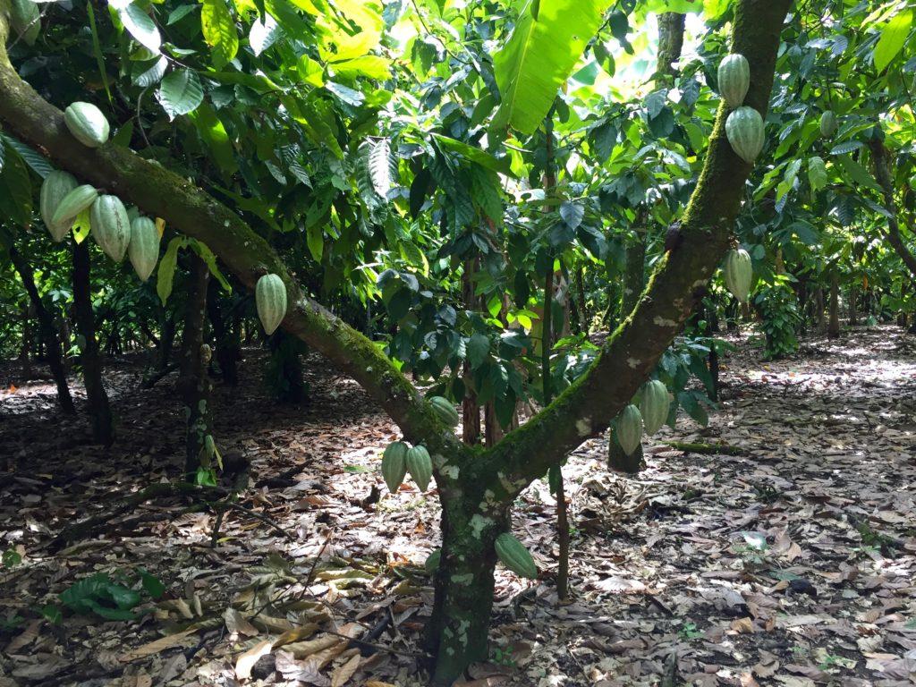 Cocoa bean pods on tree