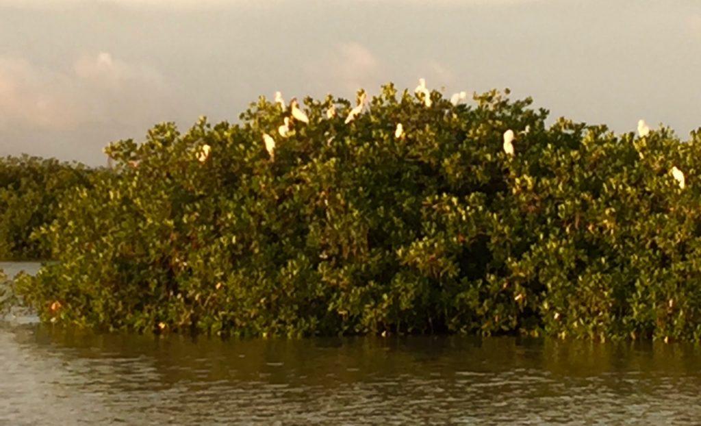 Roosting on mangroves in Laguna de Oviedo