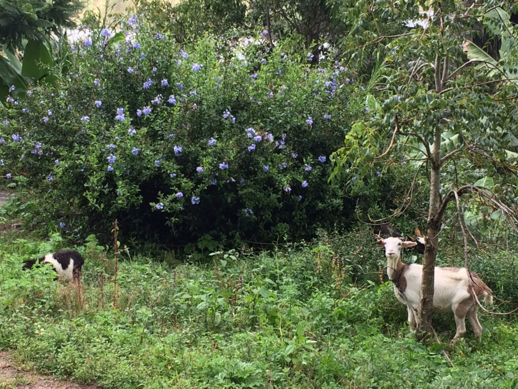 Flowers and goats