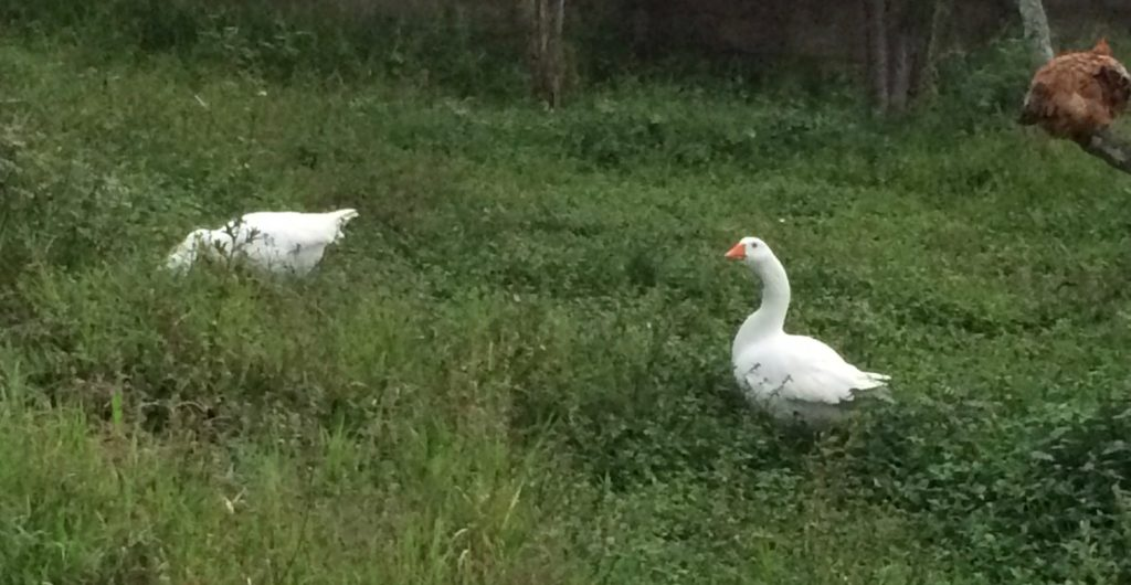 Grazing geese and a roosting chicken