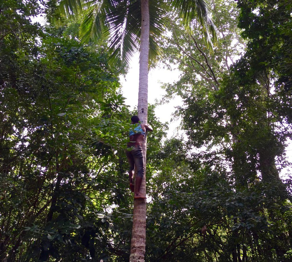 Shinny up a coconut palm 3