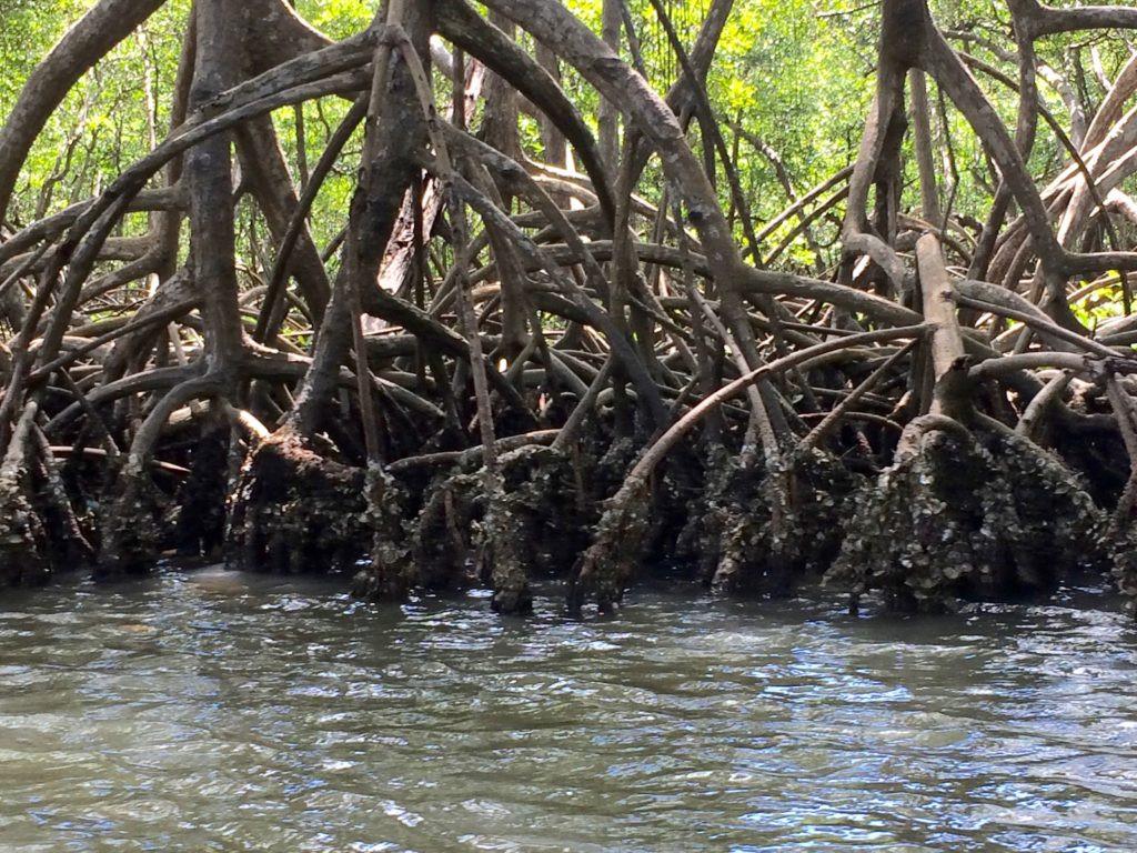 Clam-encrusted mangrove roots