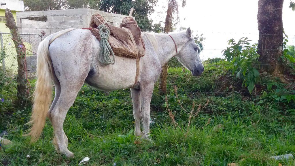 Puerto Plata mountain horse