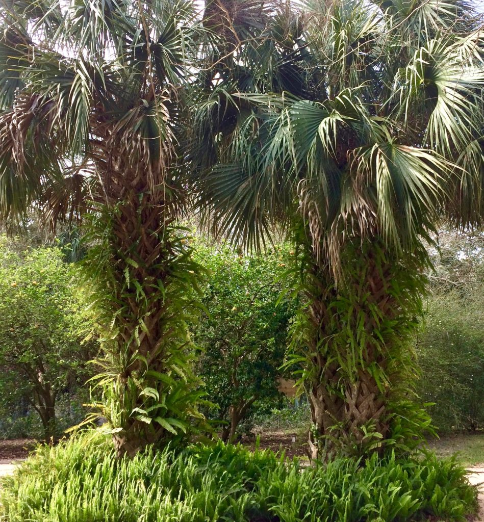 Palms in Feb outside Pinewood Estate