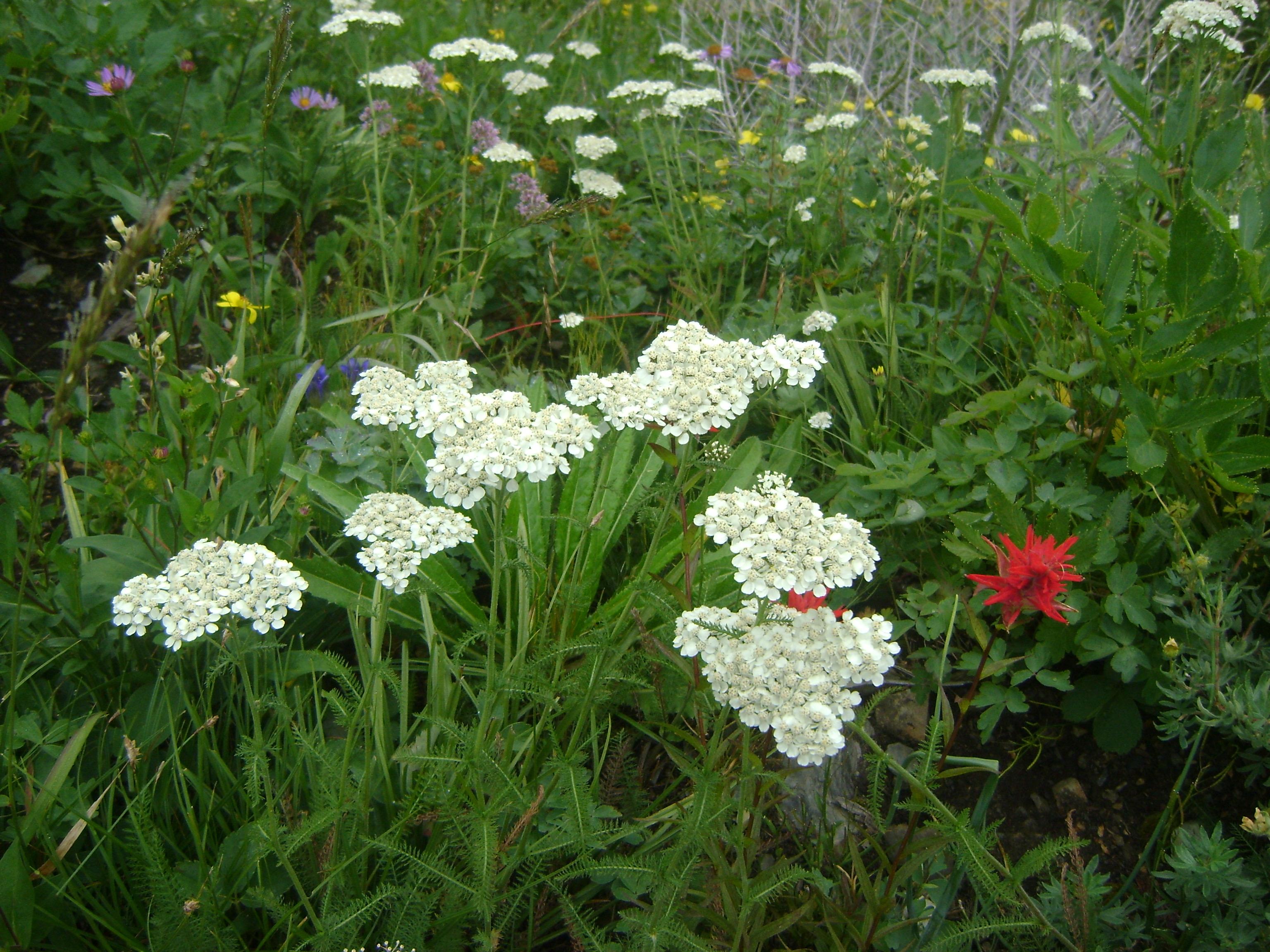 Flowers of Logan Pass, Highline Loop