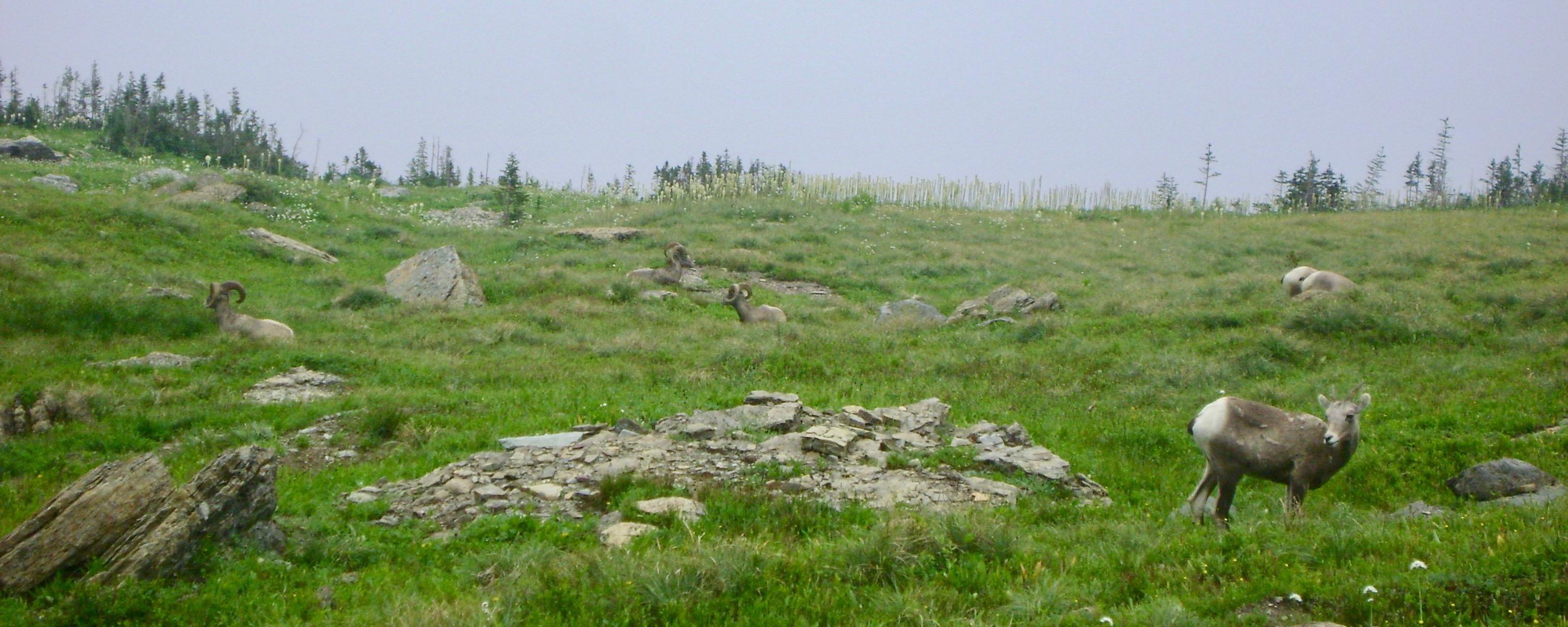 Mountain Sheep beside the Highline Loop Trail
