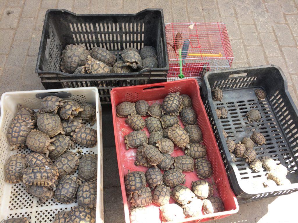 Turtles in souk of Rabat