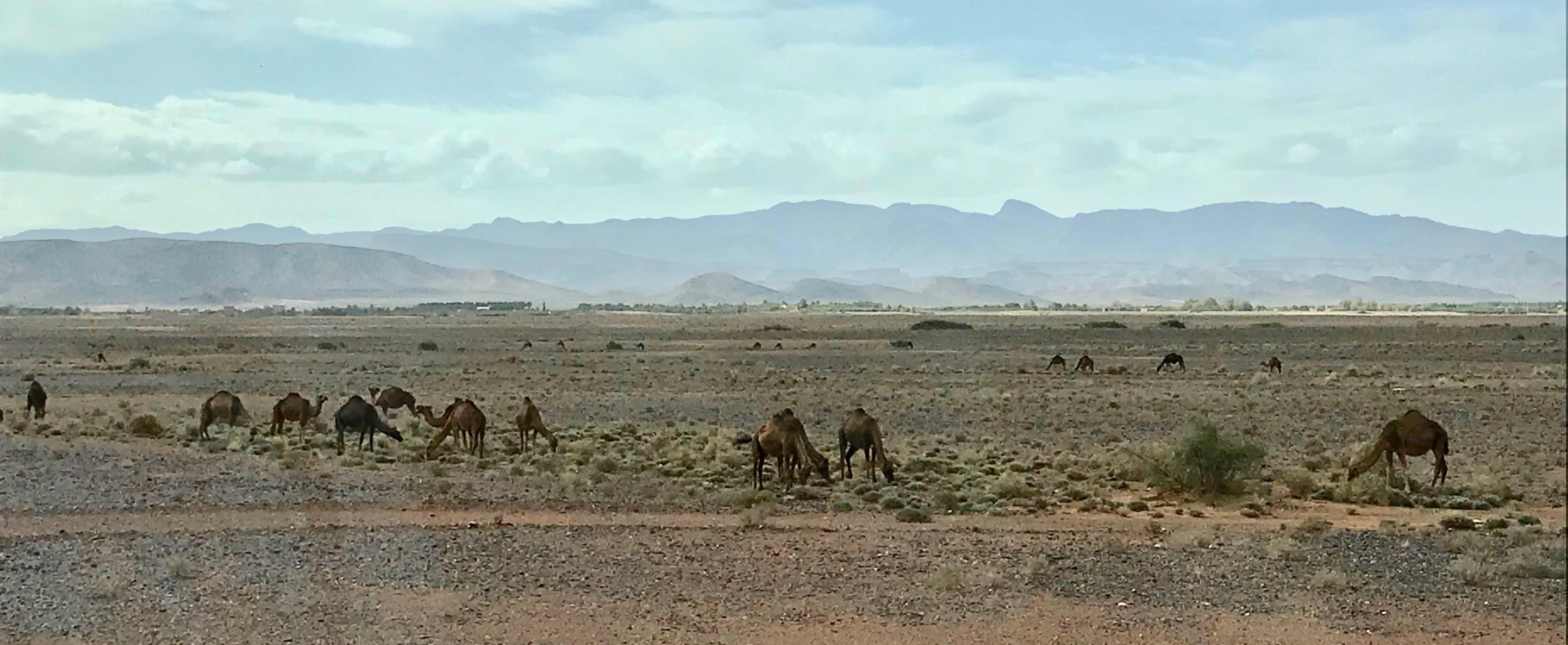 Camel herd grazing in gravel desert