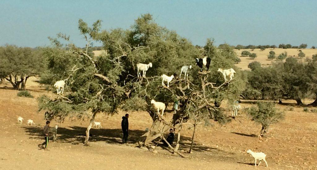 8 goats in an argan tree