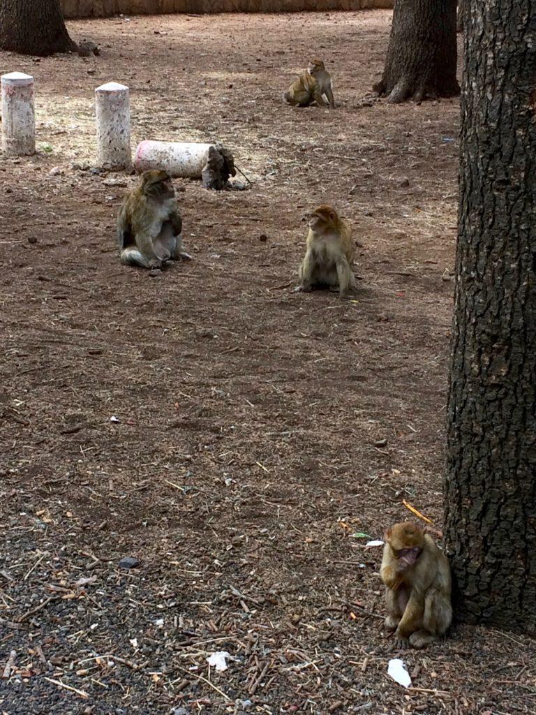 Monkeys on Middle Atlas Mountains