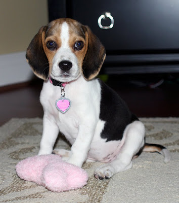 Our Newest Edition to the Family - Lucy the Beagle