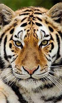 articles_tigerFeb