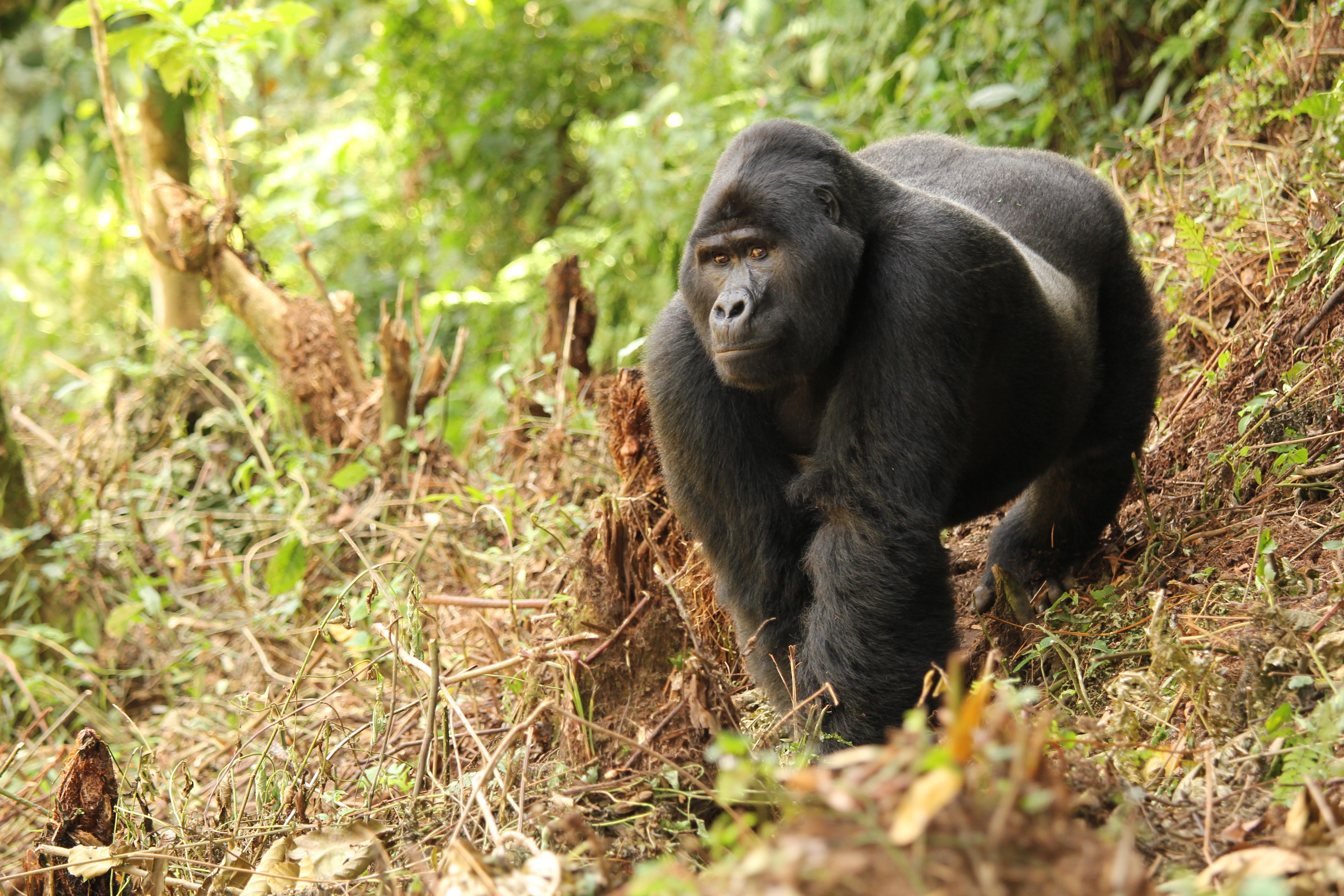 Gorillas, Chimps & Shoebill Storks of Uganda with Dr. Mark Brazil