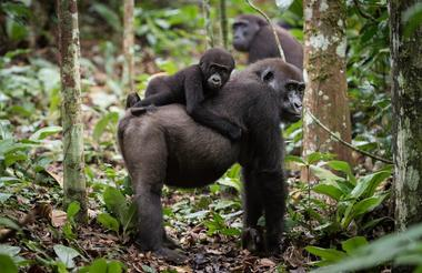Gorillas of the Congo with Lex Hes