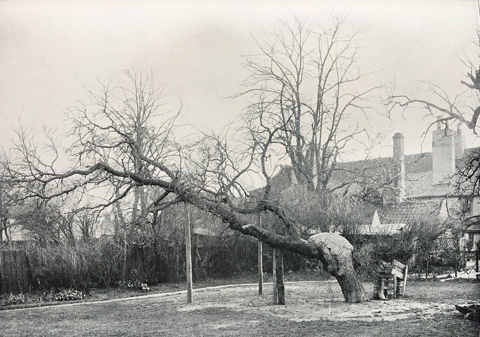 The old Mulbery Tree