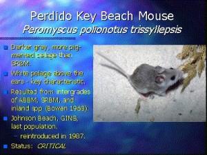perdido_beach_mouse1