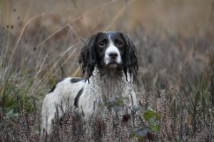 rebelritsi photography gundog photography kent