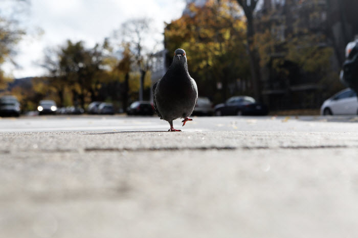 Confident pigeon strutting on asphalt