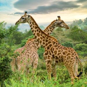 Giraffes at sunset, Arusha National Park Tanzania.