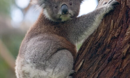 Rescued Koalas Named After American Firefighters Who Died Fighting Australia's Wildfires