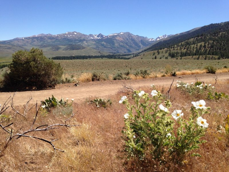 Field and white flowers in the foreground, mountains in the background