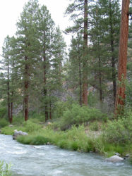 Photo of pine trees and Susan River
