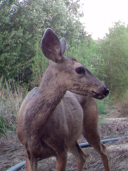 Deer in San Timoteo Creek watershed