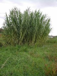 Photo of Arundo donax