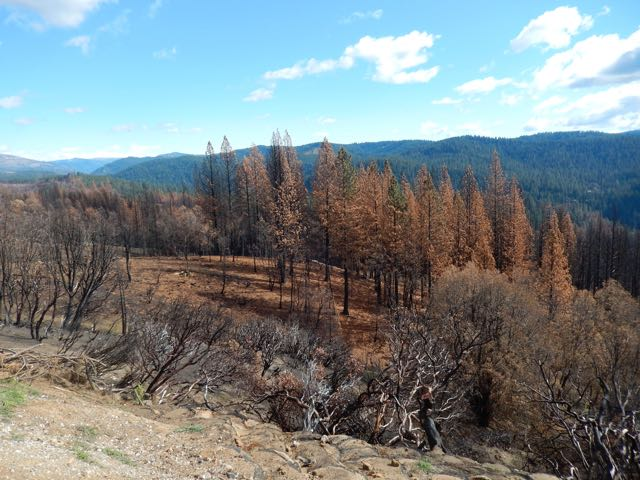 Photo of dead trees in the Central Sierra mountains