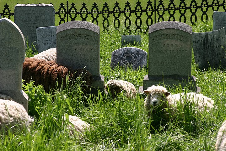 Sheep in the Cemetary 5-30-07 005