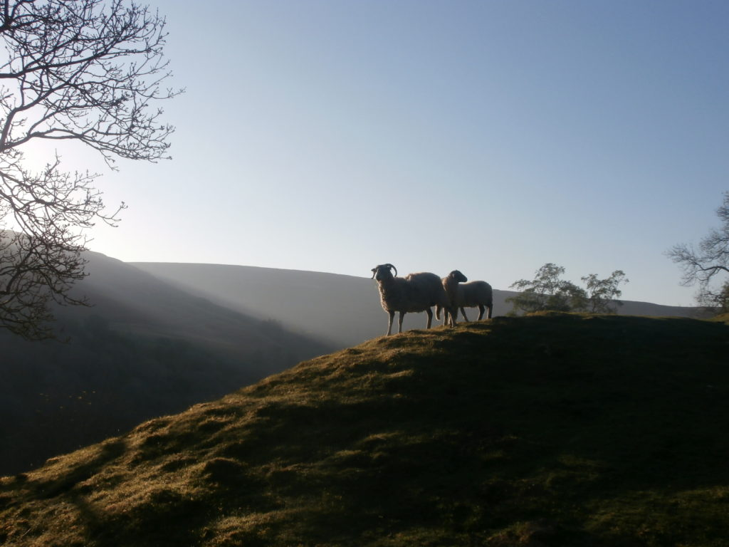 Sheep above Keld