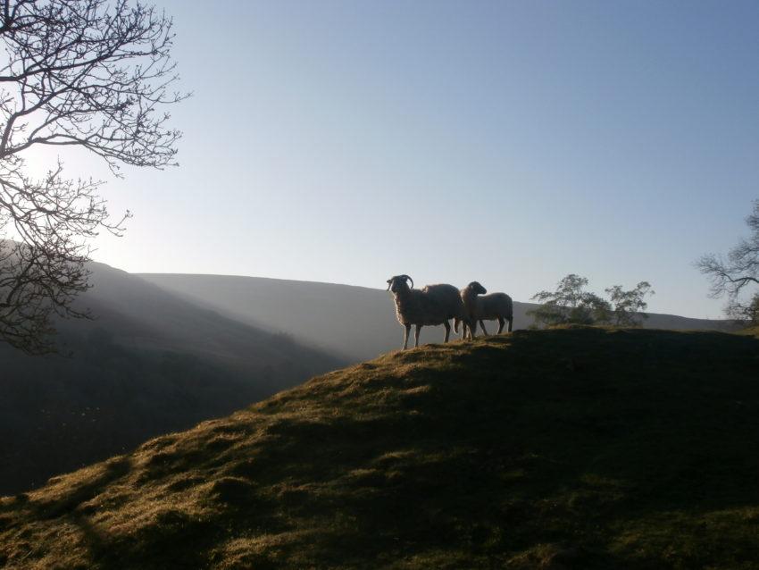 Sheep above Keld