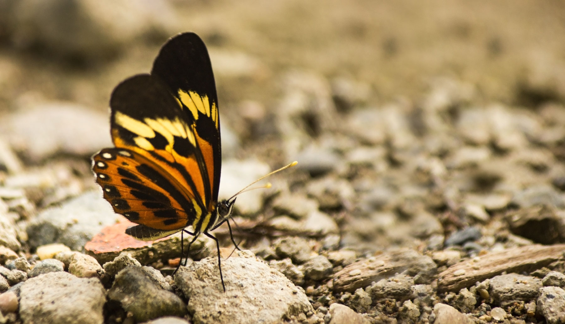 Butterfly in Ecuadorian Jungle