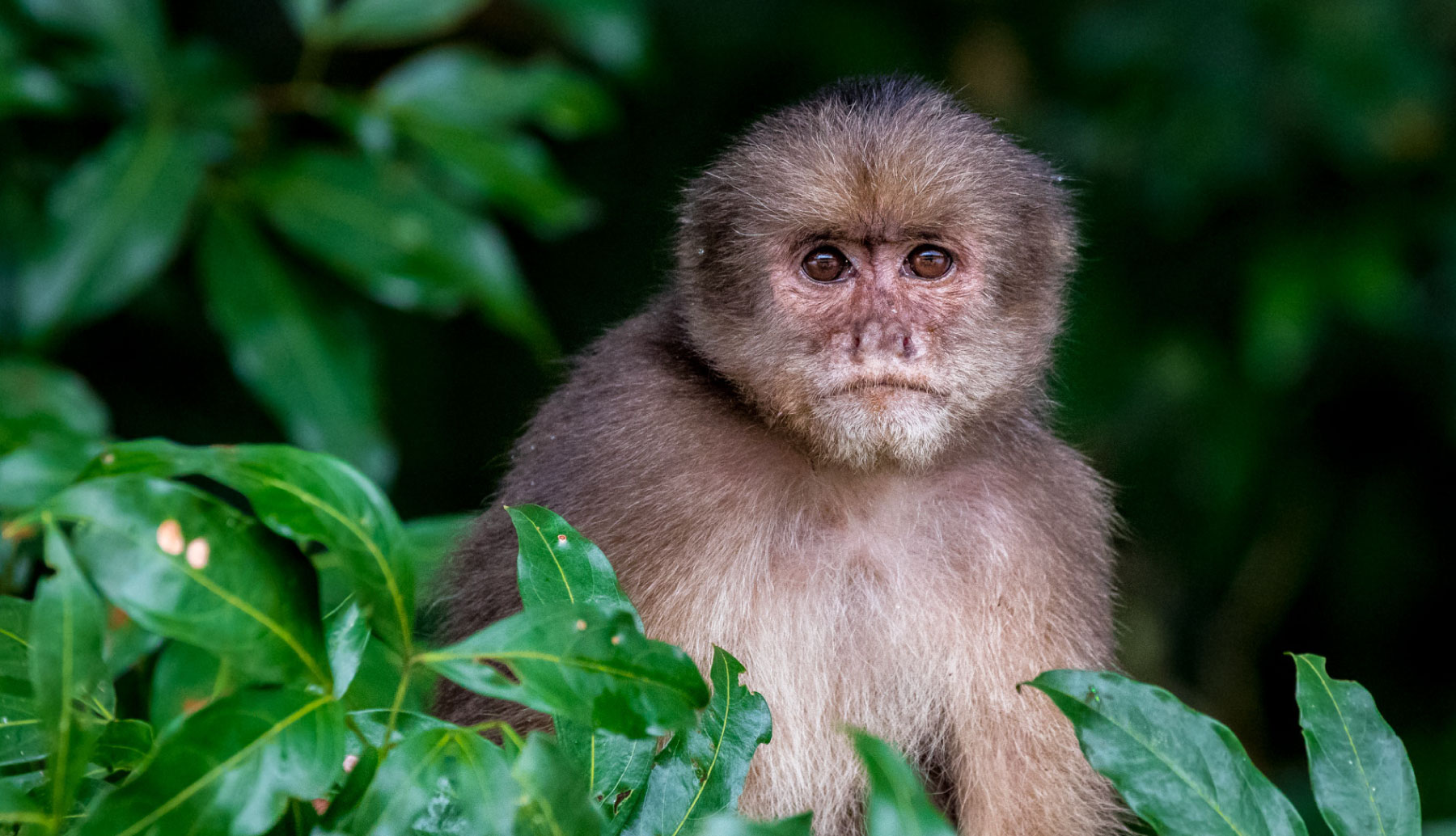 Monkey in the middle of the jungle in Amazonian Jungle