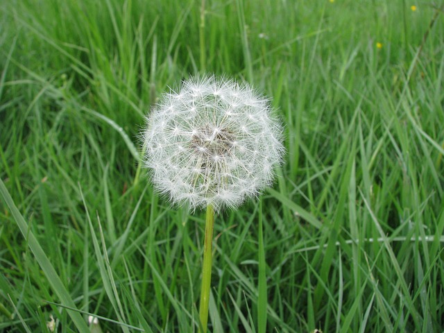 dandelion in grass