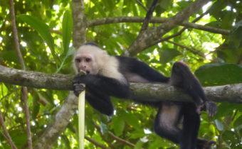 costa rica capuchin monkey