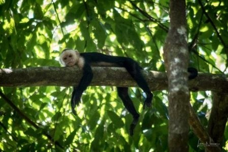 white faced monkey in costa rica