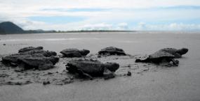 Reserva playa tortuga hatchlings