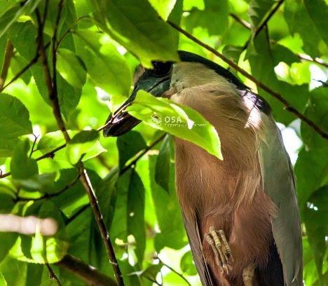 boat billed heron