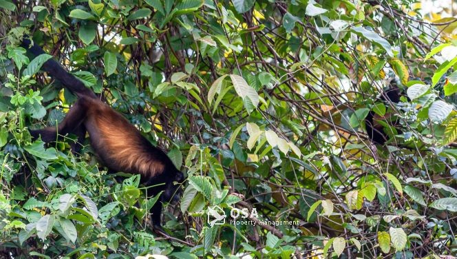 howler monkeys sierpe costa rica