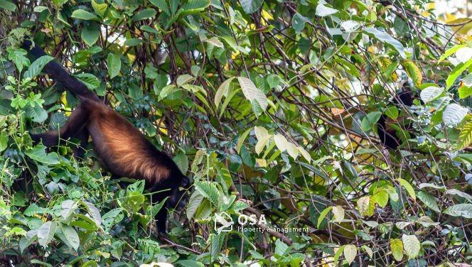 howler monkeys sierpe costa rica