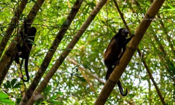 howler monkeys sierpe