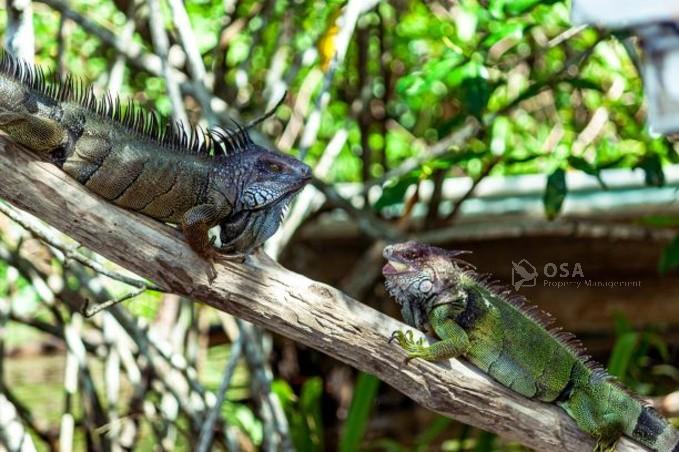 two iguanas sierpe