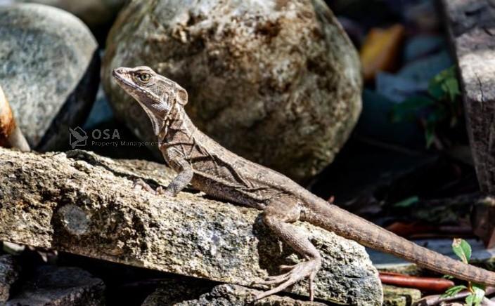 sierpe river wildlife tour iguana