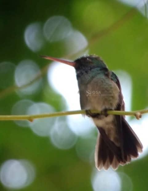 humming bird manuel antonio costa rica