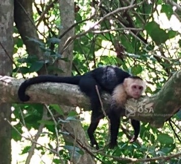 monkey manuel antonio national park